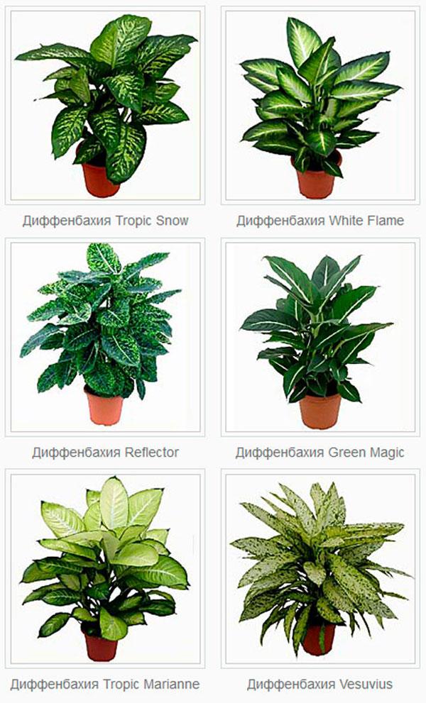 Названия домашних растений с картинками