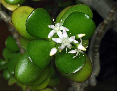 денежное дерево цветение