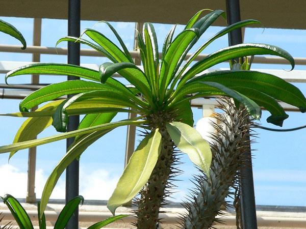 Жайи комнатное растение