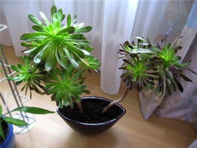 растение эониум