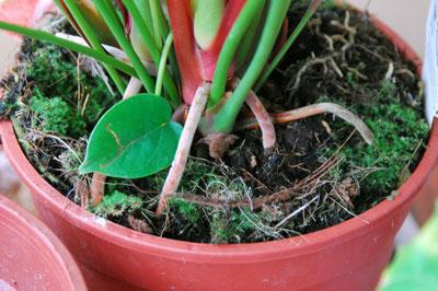 почва для антуриума