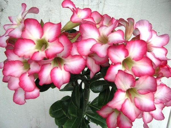 адениум цветет