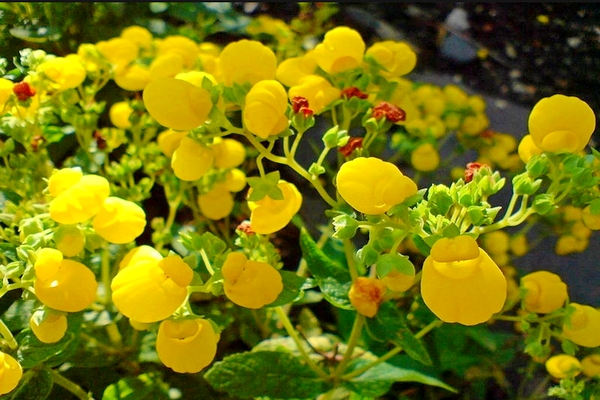 Calceolaria mexicana