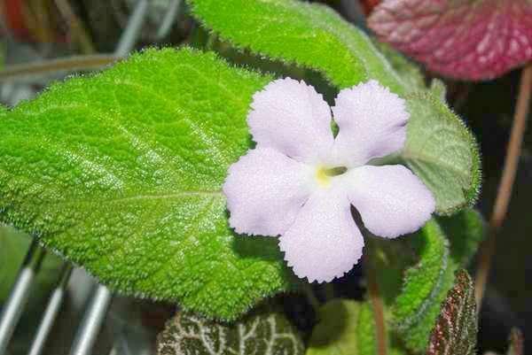 Lilacina viridis