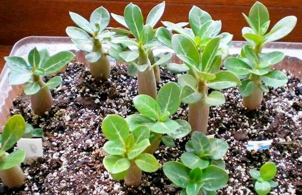 выращивание адениума