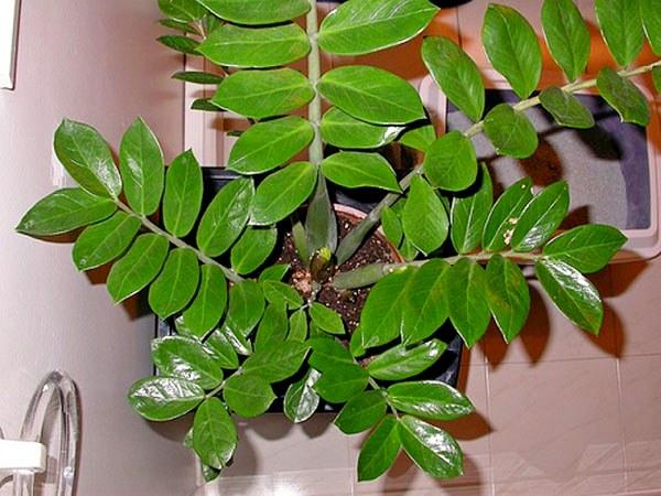 долларовое дерево фото