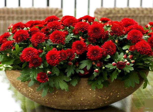 красная хризантема