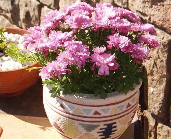 освещение хризантемы