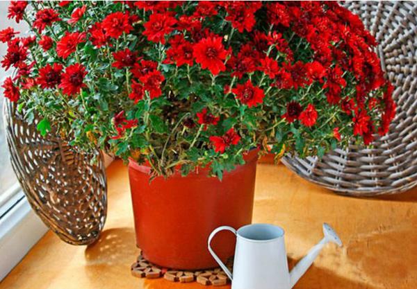 хризантема, полив