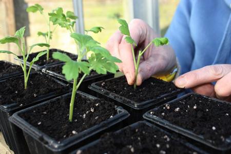 размножение хризантем