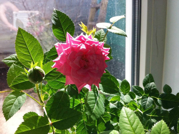 освещение розы в горшке