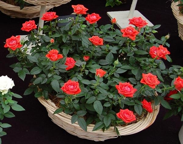 цветение горшечной розы