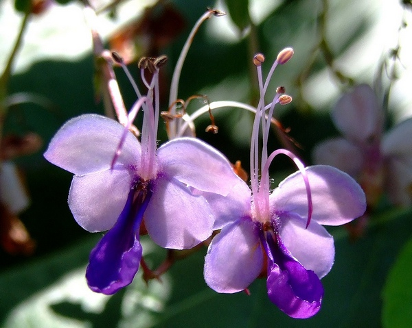 растение голубые бабочки