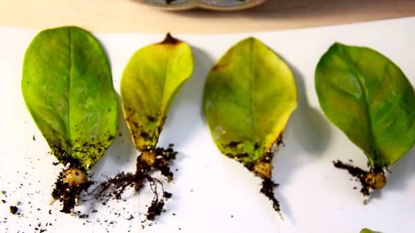 размножение листами