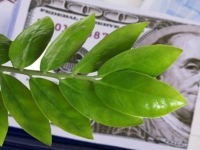 ветка долларового дерева