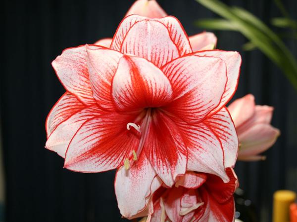 цветок амариллиса