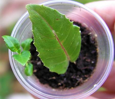 размножение листочком