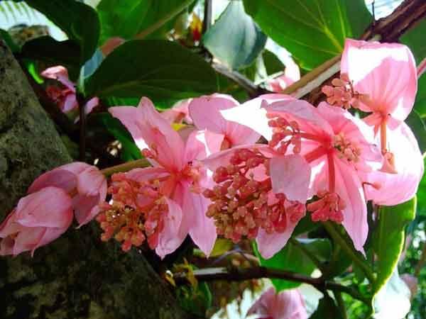 цветение мединиллы