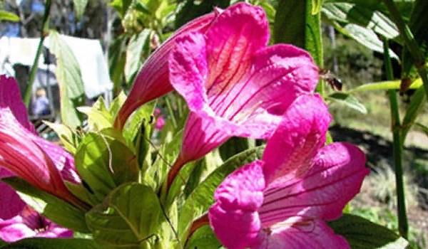 Крупноцветковая руэллия