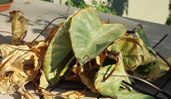 сухие листья крупнокорневой