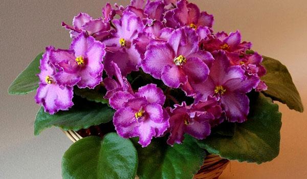 Цветение сенполии