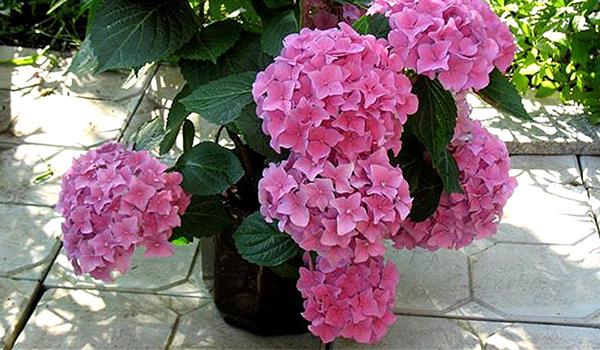 цветет гортензия