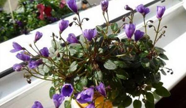 Цветок колокольчиком