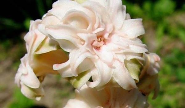 цветок сорт Санфлауэр