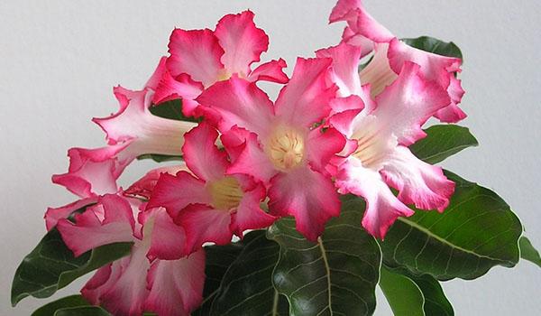 цветок вида обесум