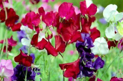 цветущий горошек