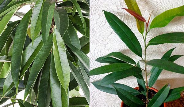 Листья сорта фикуса