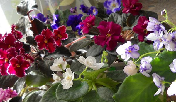 Немахровый цветок