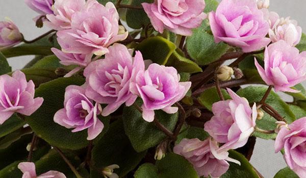 Полуминиатюрный цветок
