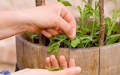 прищипка растения