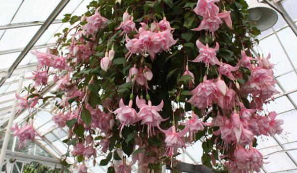 растение с розовыми цветками