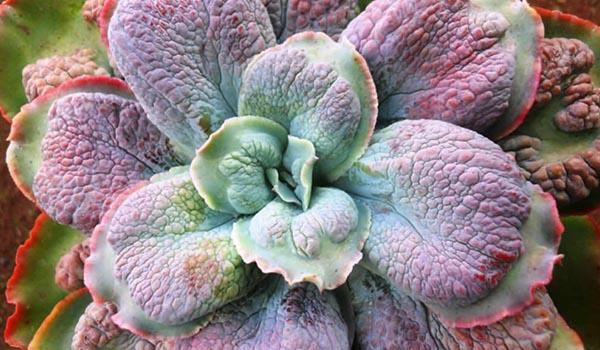 Суккулент Горбатоцветковый