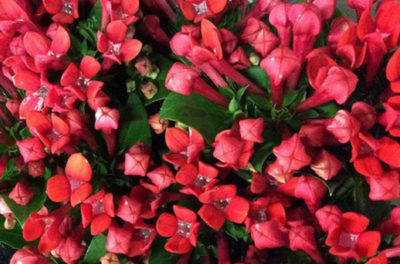 Цветок Бувардия