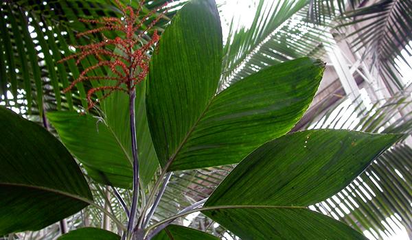 Хамедорея листья сердечком