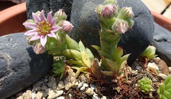 Кавказский молодило цветок