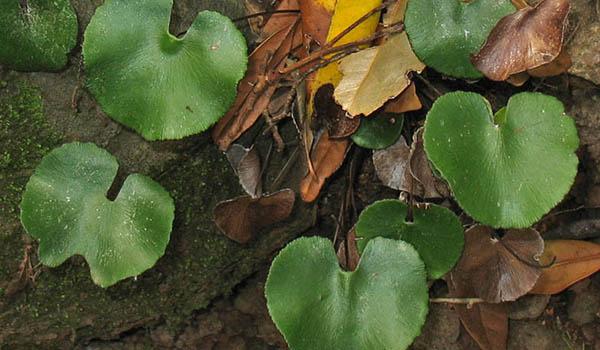 Растение с почкообразными листьями