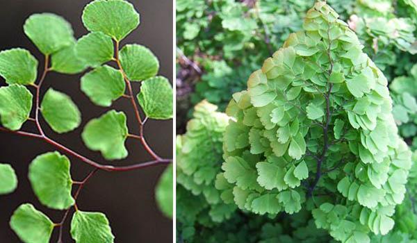 Разные сорта растения