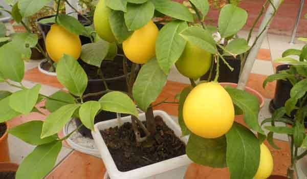 Лимон без носика