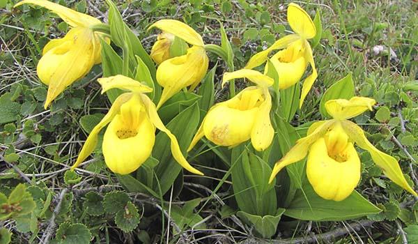 Мелкоцветковый вид