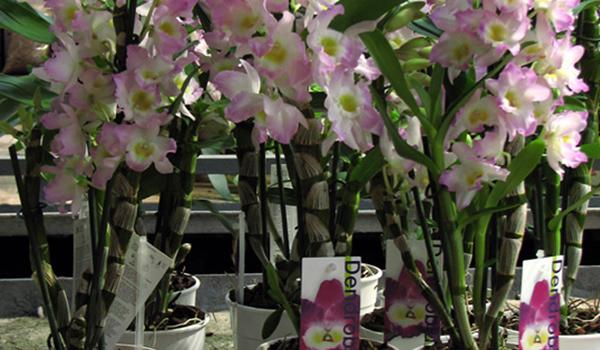 Орхидея в гошках