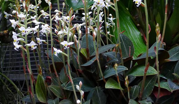 Пестролистая орхидея