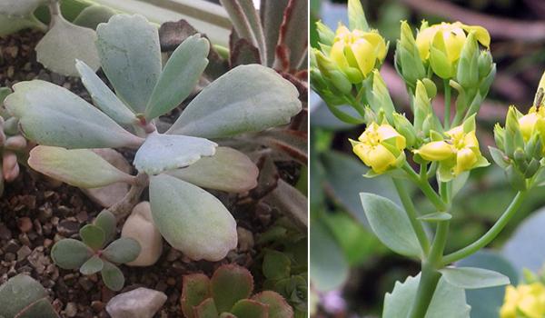 Растение крупноцветковое