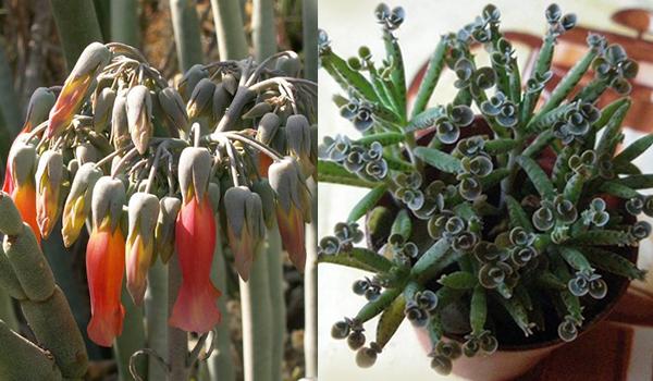 Растение трубкоцветное