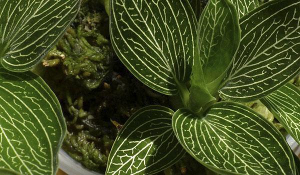 растение вида танланиана