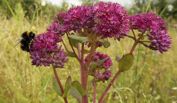 Цветение очитка пурпурного