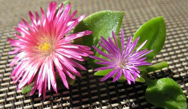 Цветы аптении